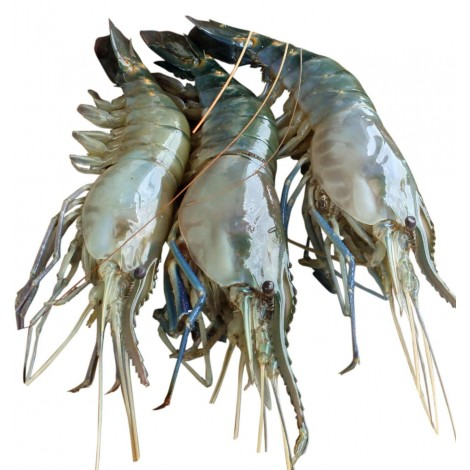 Tiger Size Golda Chingri (Golda Prawn) 1 KG